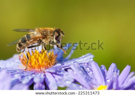 Drone fly on aster flower - stock photo