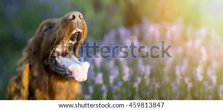 Drooling Irish Setter dog panting in a hot Summer - stock photo