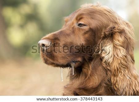 Drooling sleepy Irish Setter dog portrait - stock photo