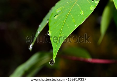 Drop of water falling from green leaf (shallow DOF and selective focus) - stock photo