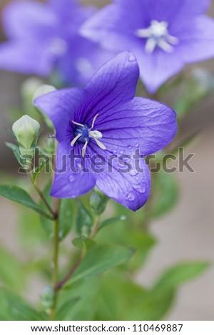 Droplets on a purple balloon flower - stock photo