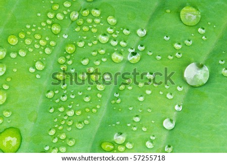 Drops of dew water on a fresh green hosta leaf - stock photo