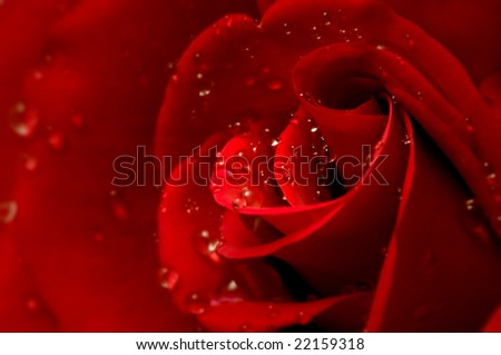 drops on a red rose petals with selective focus - stock photo