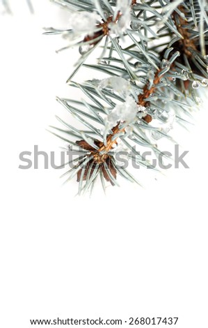 drops on spruce branch closeup isolated - stock photo