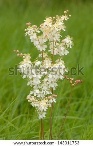 Dropwort flower (Filipendula vulgaris) in Martin Down Nature Reserve, England - stock photo