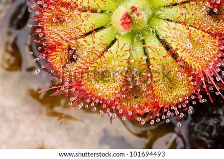 Sundew Plant Eating Insect Plant That Eating Insect