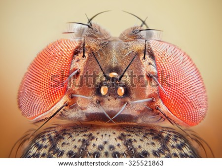 Drosophila melanogaster fruit fly extreme close up macro - stock photo