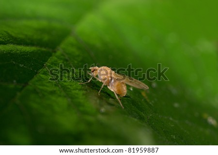drosophila portrait - stock photo