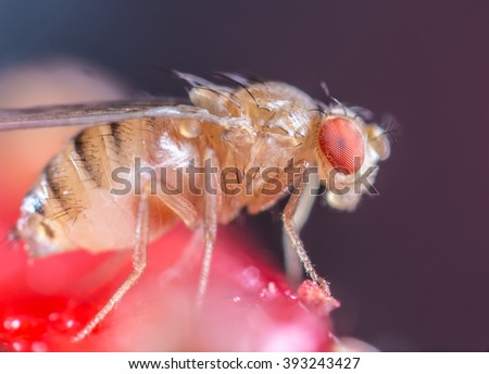 Drosophilidae - stock photo
