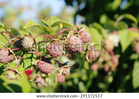 Drought and heat have ruined a raspberry crop/Damaged Berry Crop/Drought and heat have ruined a raspberry crop.  - stock photo