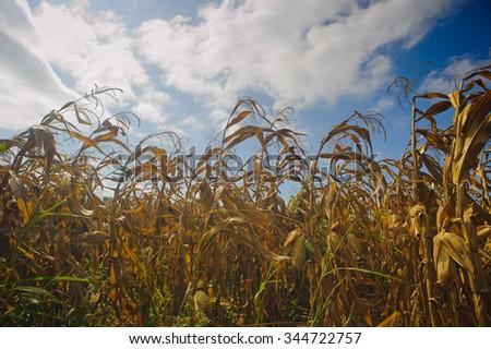 Drought Damaged Cornfield - stock photo