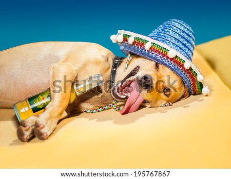 drunk chihuahua dog having a siesta with crazy and funny silly face - stock photo