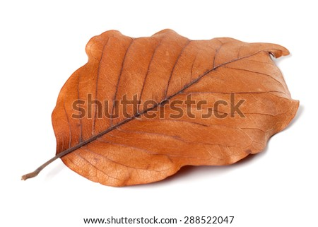 Dry autumn leaf of magnolia isolated on white background. Selective focus. - stock photo
