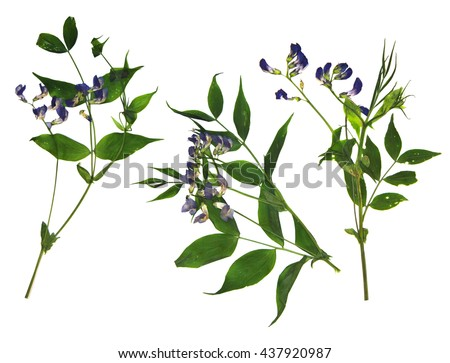 dry  blue sweet pea flower set, fresh green leaf close-up early in the spring, isolated on a white background elements for scrapbook, object, pressed, border, edging - stock photo