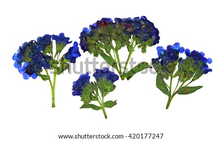 dry branch flower lungwort, set of blue flowers and fresh green leaf close-up early in the spring, isolated on a white background elements for scrapbook, object, pressed, border, edging - stock photo