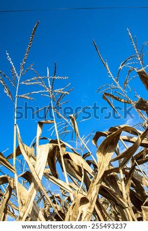 Dry corn field in Brazil - stock photo