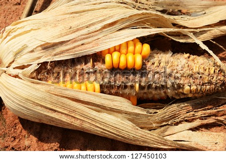 Dry corn on sand in corn farm - stock photo