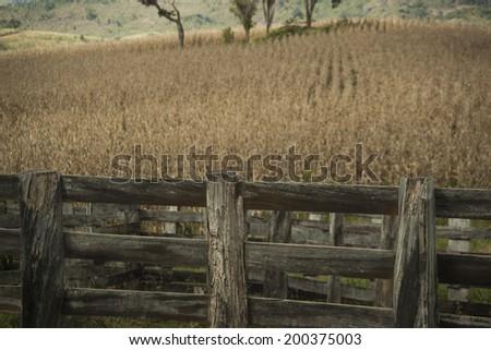 Dry cornfield in Brazil. - stock photo