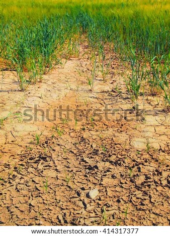 Dry cracked clay in corner of wheat field. Dusty ground with deep cracks and wilted flowers. - stock photo