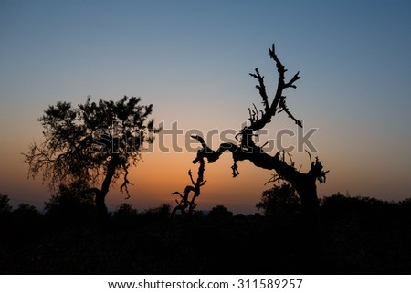 Dry crooked tree at the sunset time - stock photo