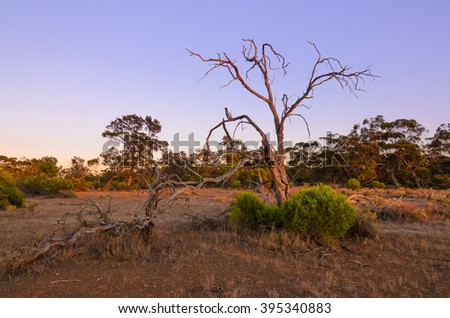 Dry dead tree in Australian remote bush outback at sunrise - stock photo