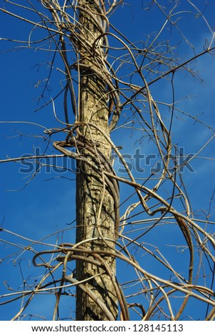 Dry died hop stems against blue sky background - stock photo