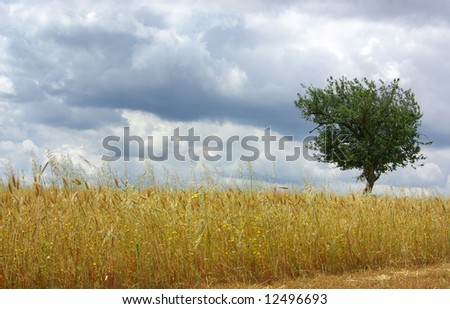 Dry field of wheat in alentejo with green tree. - stock photo