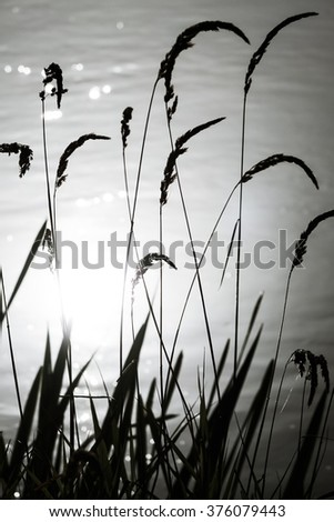 dry grass on water background, backlight - stock photo