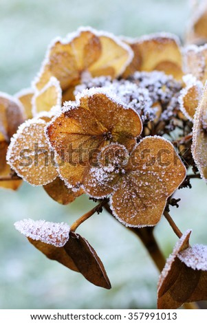 Dry hortensia in the garden covered with frost close up  - stock photo