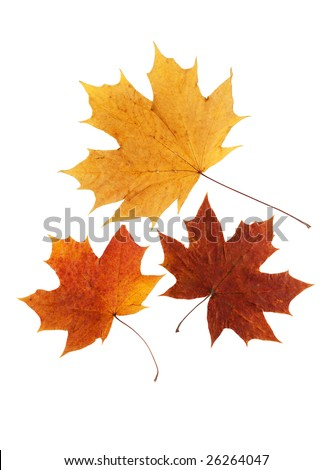 dry maple leaf is isolated on white - stock photo