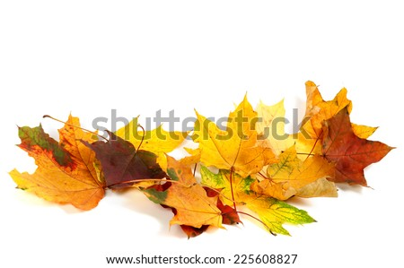 Dry multicolor maple-leafs isolated on white background. Autumn background with copy space. - stock photo