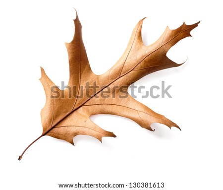 dry oak leaves isolated on white background, clipping path included. - stock photo