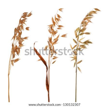 dry oat isolated on white background - stock photo