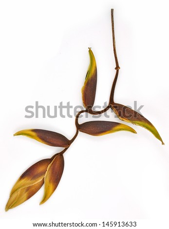 Dry of tropical heliconia flower (Heliconia stricta), isolated on a white background  - stock photo