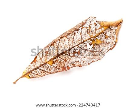 Dry orange autumnal leaf isolated on white background - stock photo