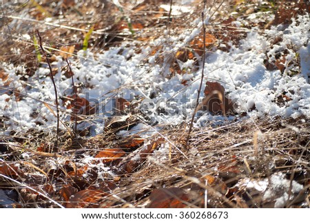 Dry pale yellow grass covered with first snow in early winter. Cold sunny morning near Lviv, Ukraine.  - stock photo