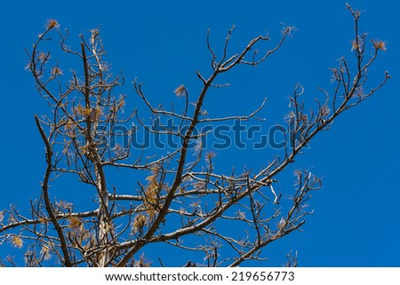 Dry pine branch with cone, the destruction of the environment. - stock photo