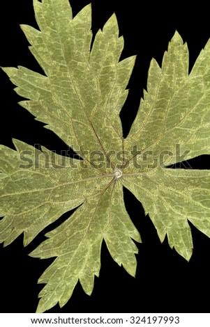 Dry pressed Geranium Leaf on black ground. - stock photo