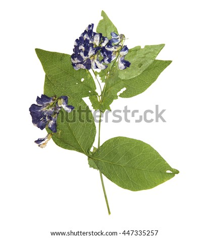 Dry pressed sweet pea close-up perspective, delicate vivid blue flowers and petals with green ragged leaf isolated  - stock photo