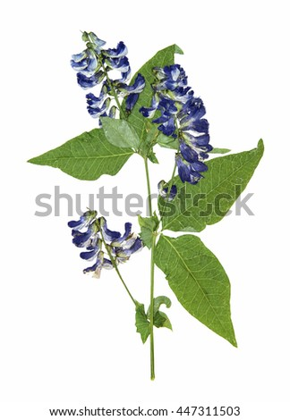 Dry pressed sweet pea close-up perspective, delicate vivid blue flowers and petals with green leaf  isolated  - stock photo