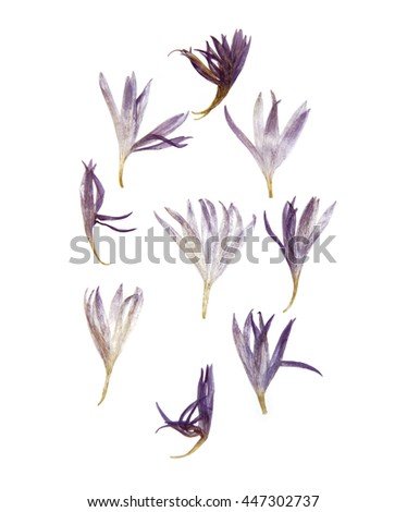 Dry pressed thin translucent petals of cornflower perspective, delicate vivid blue flowers isolated  - stock photo