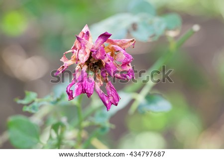 Dry rose natural background, - stock photo