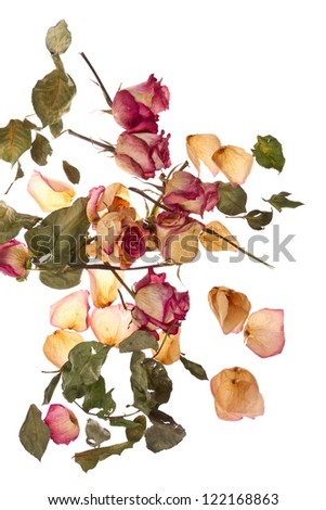 Dry roses and petals isolated on white/Dry roses - stock photo