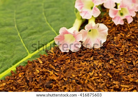 Dry smoking tobacco and fresh pink  tobacco flowers on green tobacco diagonal leaf background - stock photo