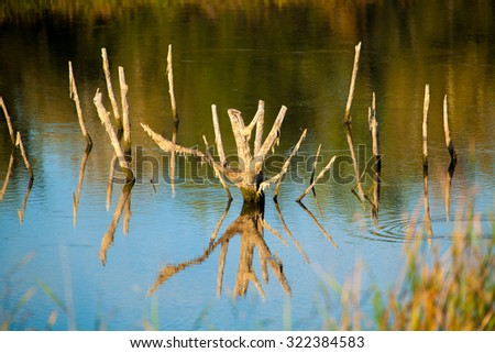 dry snags sticking out of the water; dry branches of an old tree sticking out of the water; old tree branches reflected in the lake - stock photo