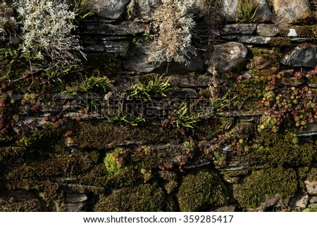 Dry stone wall made from Lakeland Slate covered naturally with moss, lichens and Alpine plants for a good nature and environment texture and background. - stock photo