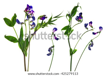 dry sweet pea flower set of blue flowers and fresh green leaf close-up early in the spring, isolated on a white background elements for scrapbook, object, pressed, border, edging - stock photo