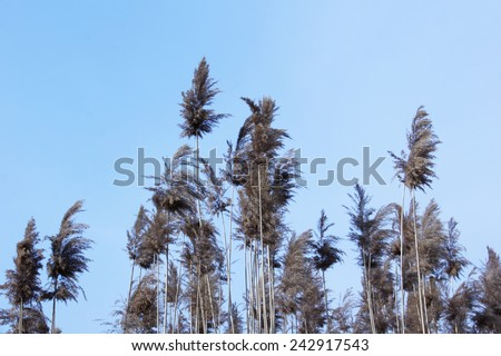 Dry tall reed by the river. - stock photo