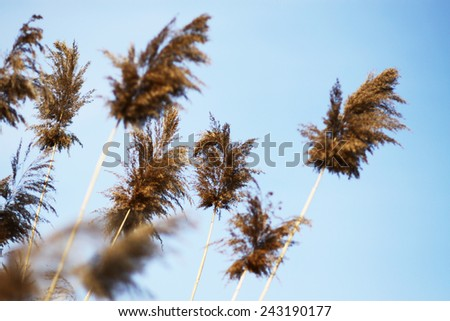 Dry tall reed by the river, unfocused - stock photo