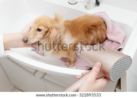 Dry the dachshund in the dryer - stock photo